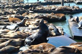 San Francisco pier 39 Deniz Aslanları Canlı İzle